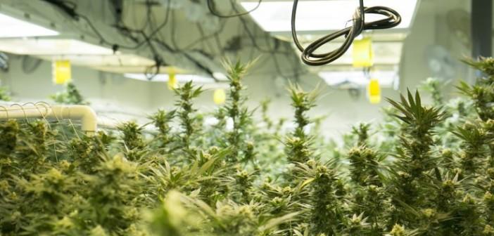 Hodowcy marihuany w USA zużywają prąd o wartości 6mld euro rocznie, THCLand.pl