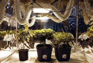 Kanada a marihuana, THCLand.pl