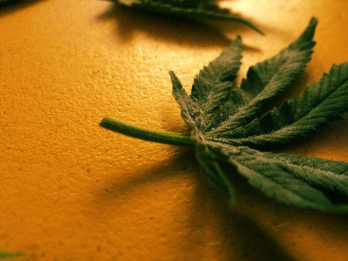 Medyczna marihuana w Maine, THCLand.pl