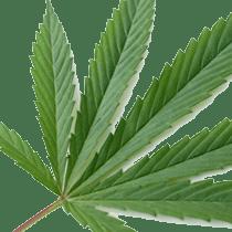 Spojrzenie na proponowany system klasyfikacji cannabis, THCLand.pl
