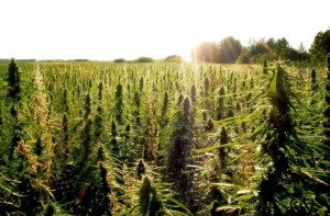 konopna-uprawa-uprawa-konopi-zielonej-marihuany