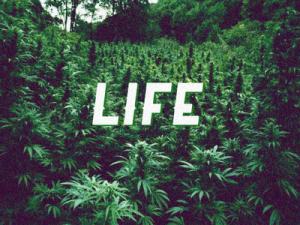 zdjecie-marihuany-napis-zycie