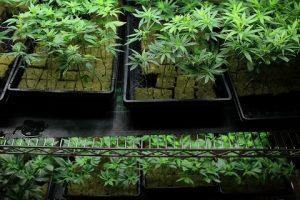 uprawa-marihuany-na-plantacji-marihuany