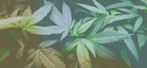 zdjecie-legalnej-marihuany