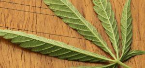 marihuana-medyczna-marihuana-lisc-marihuany-cbd-roslina