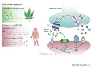 Marihuana i kannabinoidy, THCLand.pl