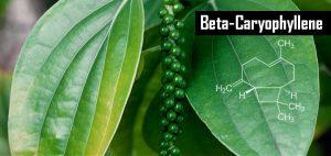 bcp-odkrycie-kannabinoid-obecny-w-zywnosci-marihuana