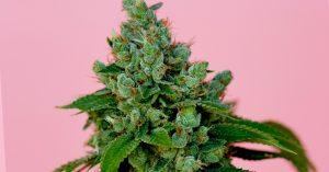 """Sondaż """"Irish Times""""   81% Irlandczyków jest za legalizacją medycznej marihuany, THCLand.pl"""