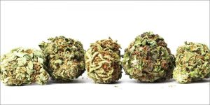 Siedem odmian marihuany, które nie powodują gastro, THCLand.pl