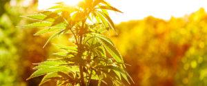 Masaż cannabis, THCLand.pl