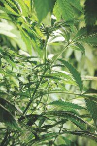 22 nowe warunki w programie medycznej marihuany, THCLand.pl