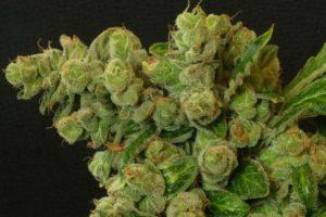 Pozwalają pracownikom stosować cannabis, THCLand.pl