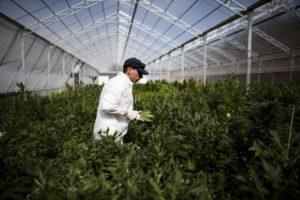 Czy marihuana to skuteczne leczenie?, THCLand.pl