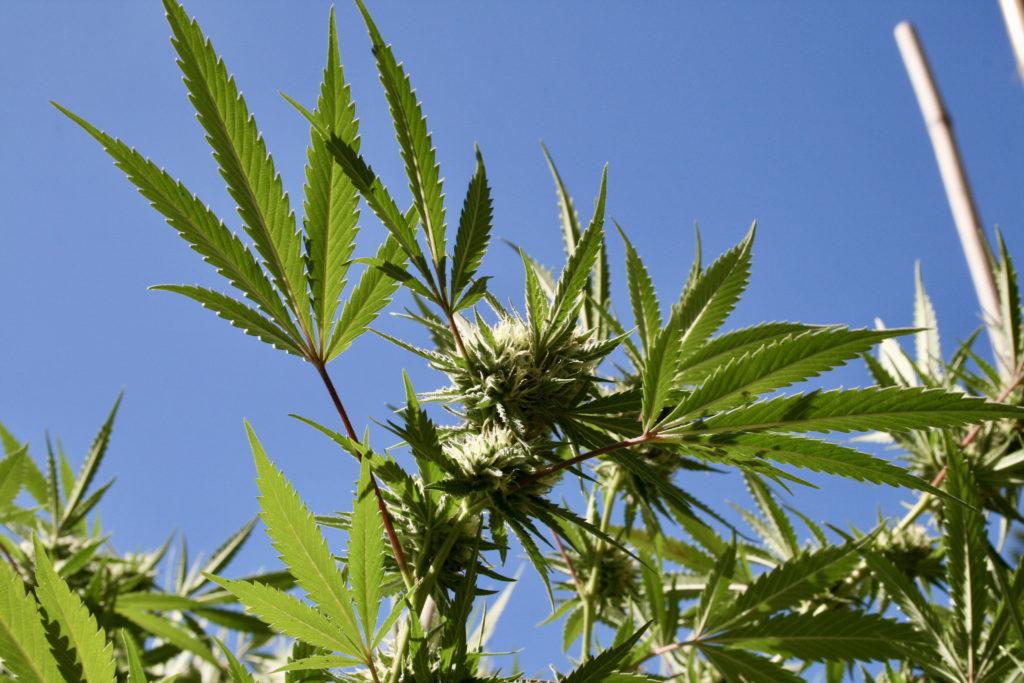 Czy Inne Owoce Oprócz Mango Również Nasilają Działanie Cannabis?, THCLand.pl